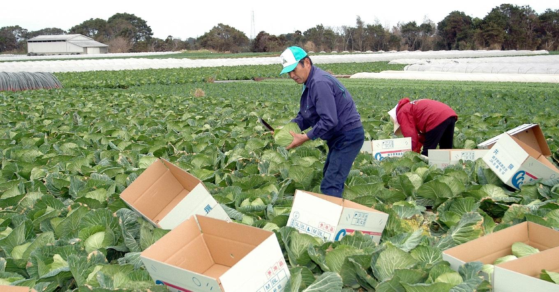 日本一の出荷量を誇る春キャベツの収穫風景です。