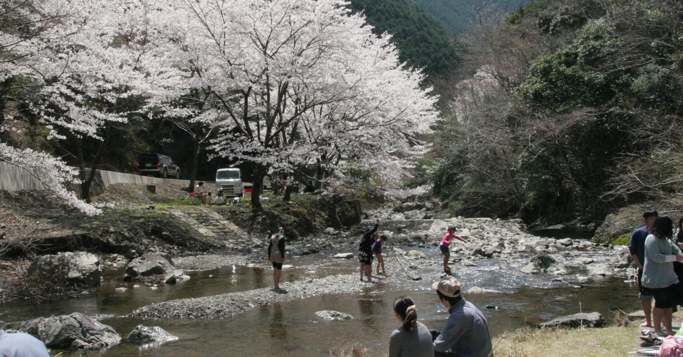 咲き誇る津木地区の桜