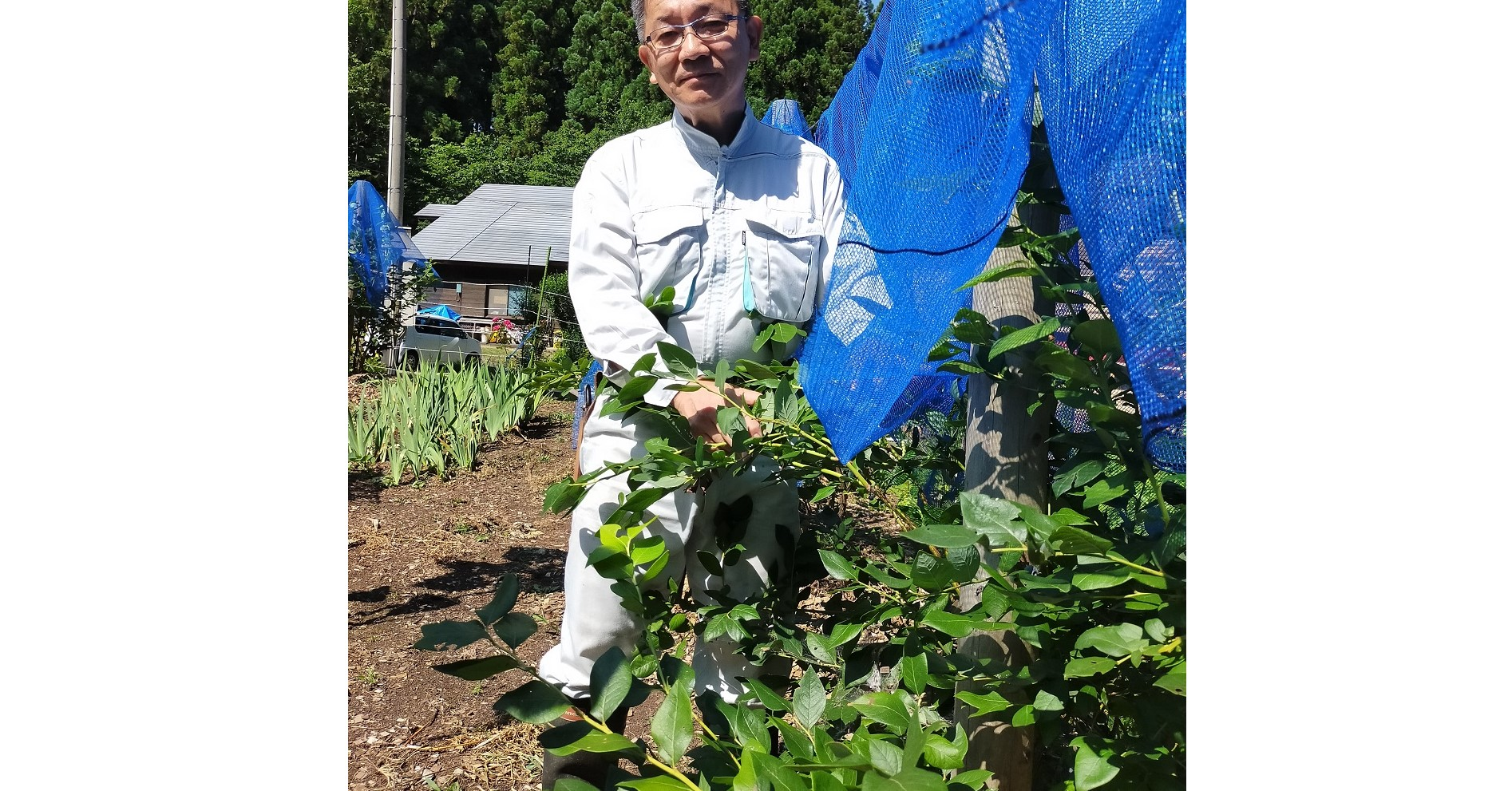 ブルーベリーも栽培していて、大粒で甘い実が沢山成ります。