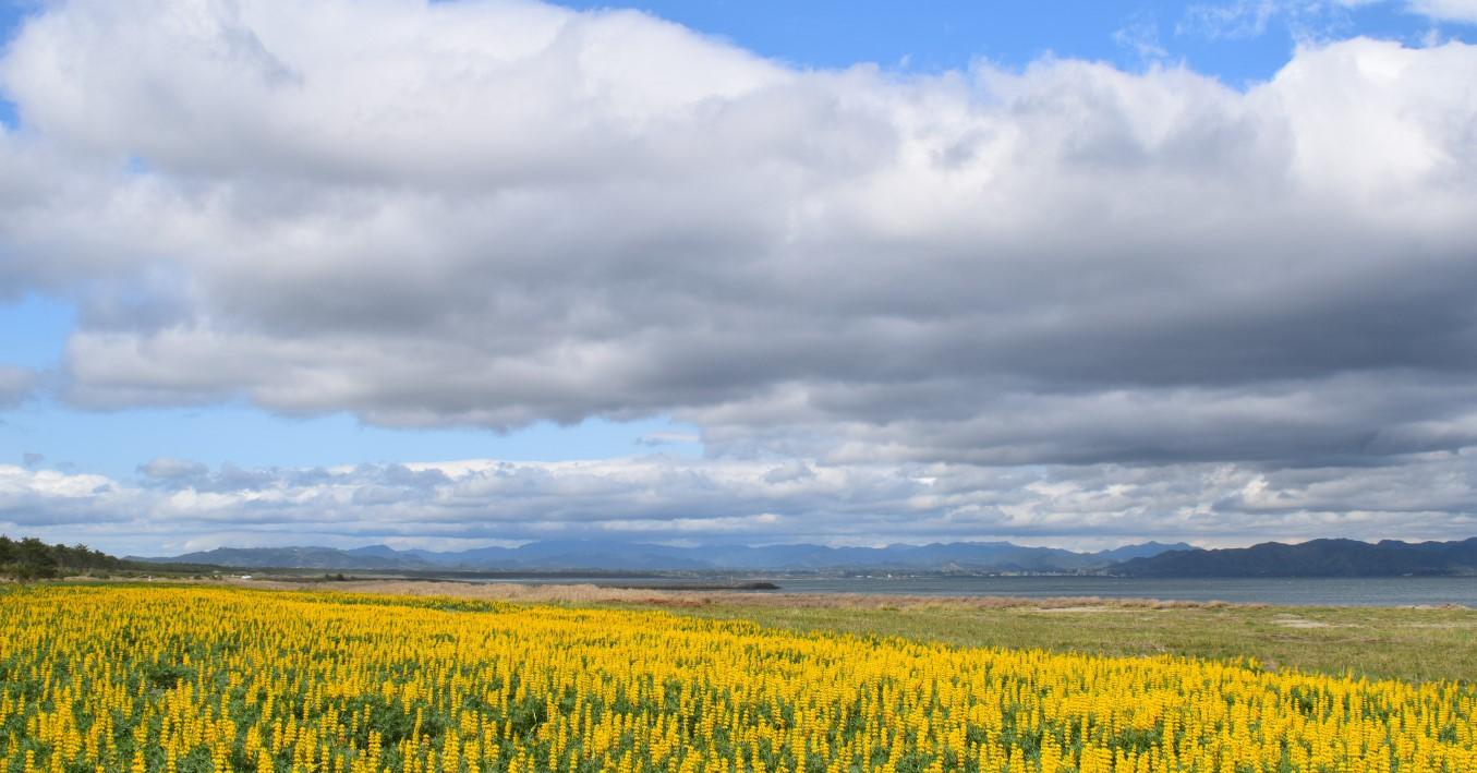 春。町花ルーピンが、まるで黄色い絨毯のように咲き誇ります。