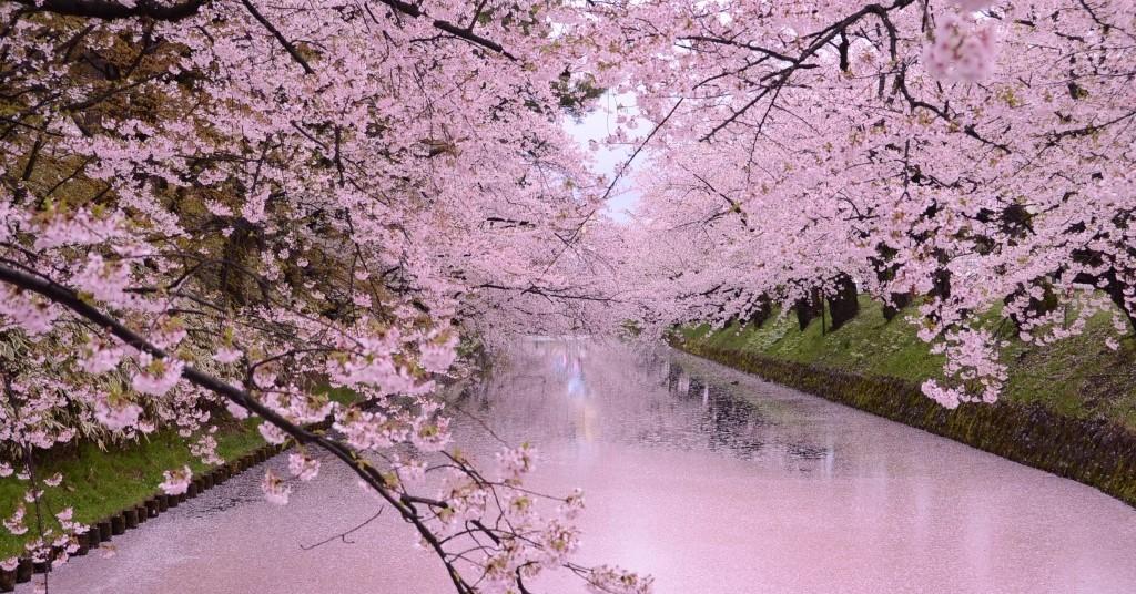 桜の絨毯のような弘前公園外濠の花筏