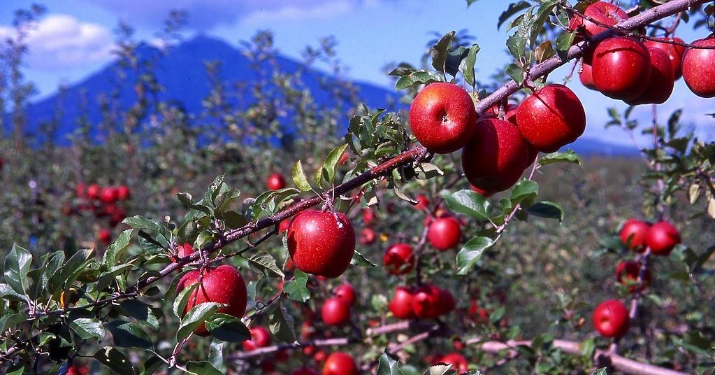 りんごの生産量日本一の青森県弘前市