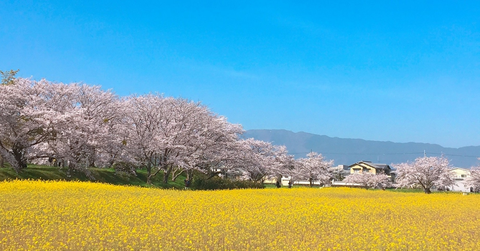 藤原宮跡(桜と菜の花)